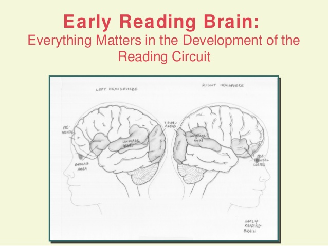 Early Reading Brain - Everything matters in development of the reading circuit with images of brain scans
